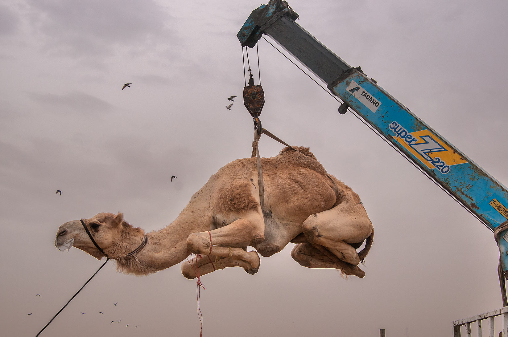 Camel moving to a truck by hydraulic crane in...markets, Abu Hamour area. Doha, Qatar