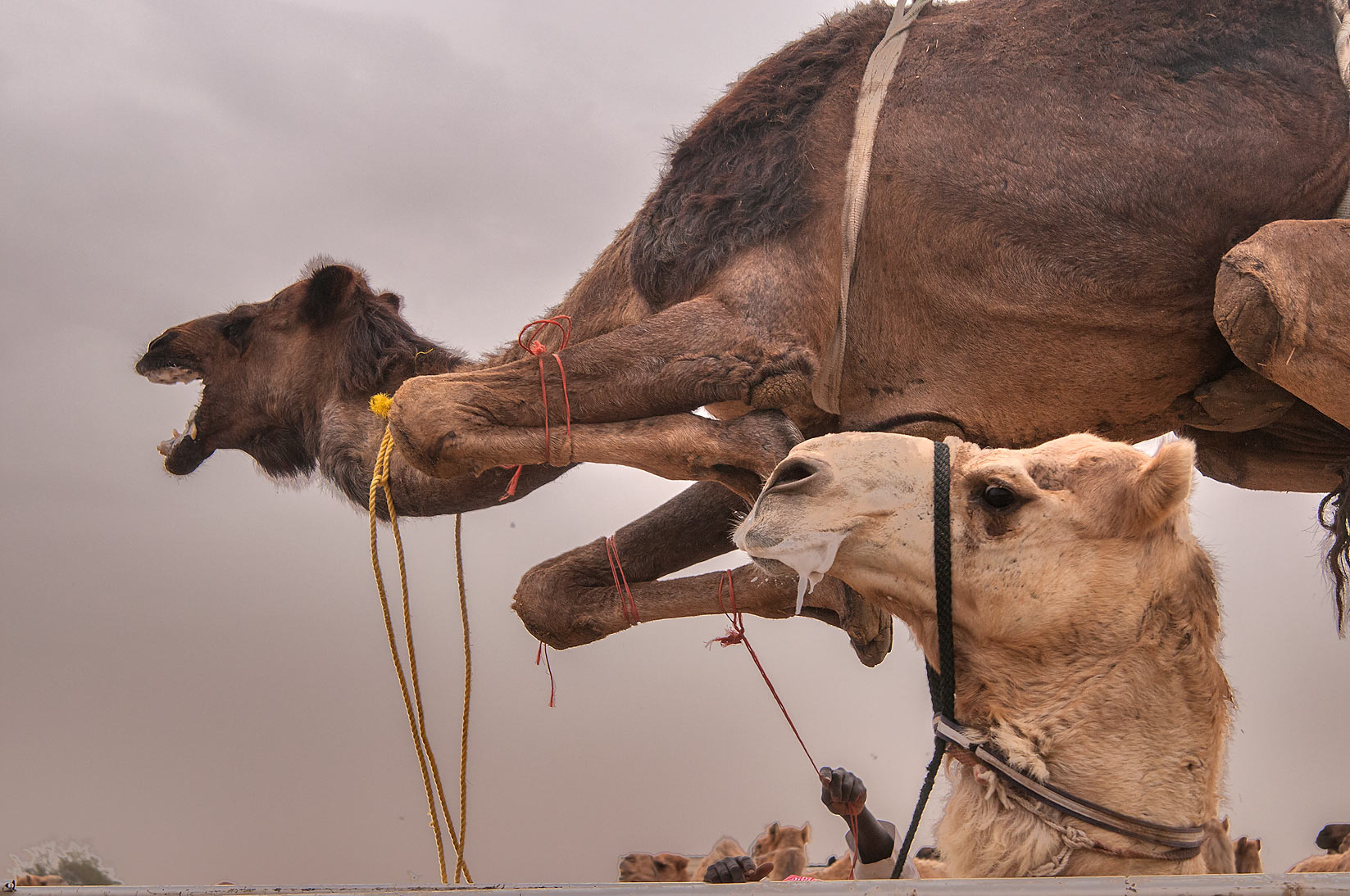 Angry black camel suspended in air by hydraulic...markets, Abu Hamour area. Doha, Qatar
