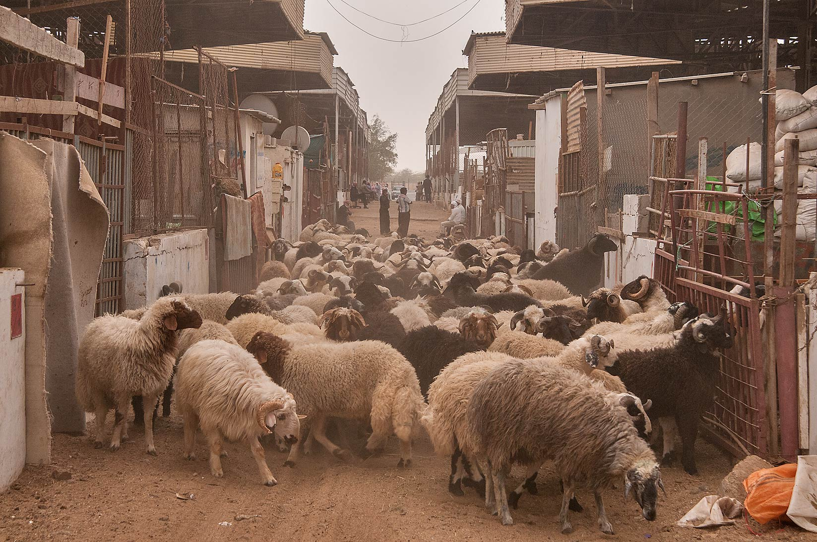 Herd of a sheep in livestock markets, Abu Hamour area. Doha, Qatar