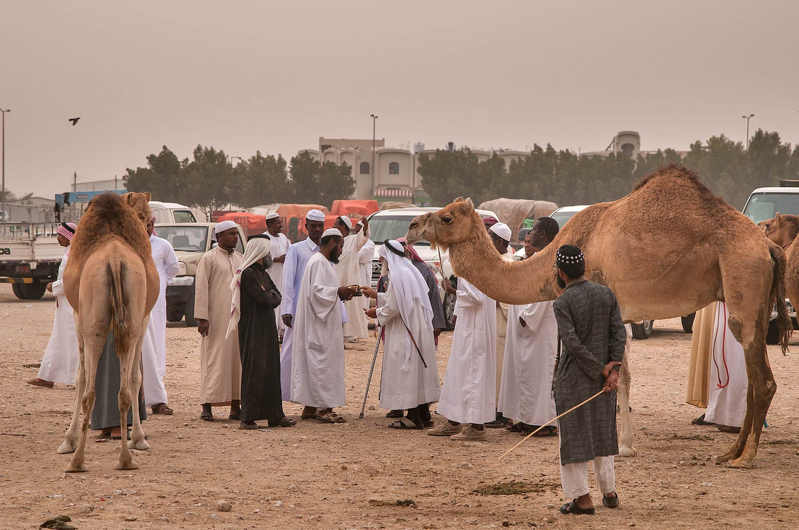 Buying a camel in livestock markets, Abu Hamour area. Doha, Qatar