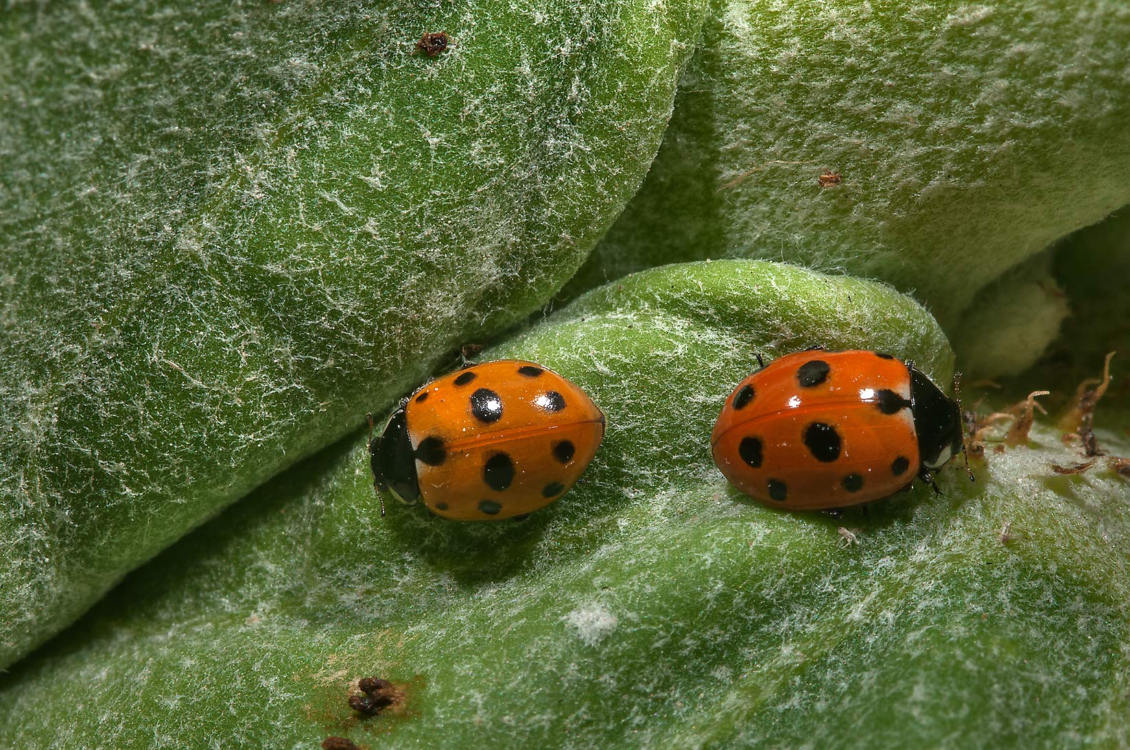 Two ladybugs on a leaf of Sodom Apple (Calotropis...Compound, Abu Hamour area. Doha, Qatar