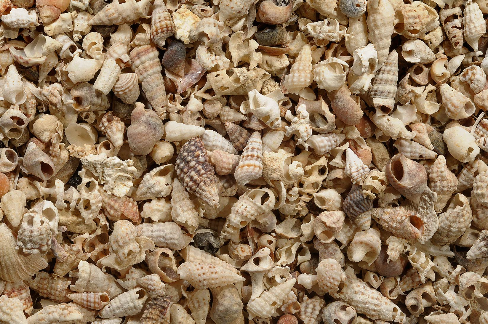Accumulation of shells of sea snails in Al Aaliya Island (Jazirat al Aliyah). Qatar