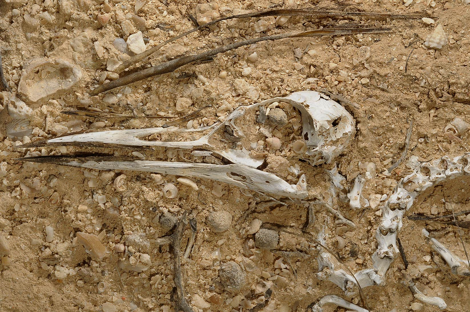 Sea bird skeleton in Al Aaliya Island (Jazirat al Aliyah). Qatar