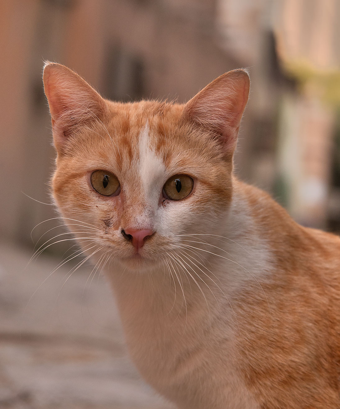 Head of a brown arabian mau stray cat sitting on...Thani St., Musheirib area. Doha, Qatar