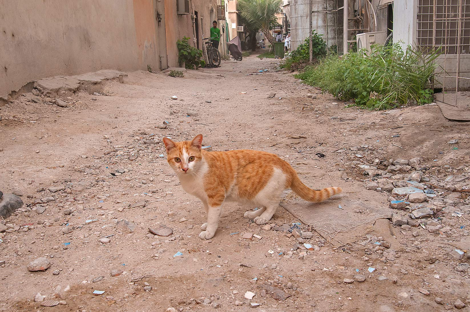 Stray bicolor arabian mau cat in a backyard on...Thani St., Musheirib area. Doha, Qatar