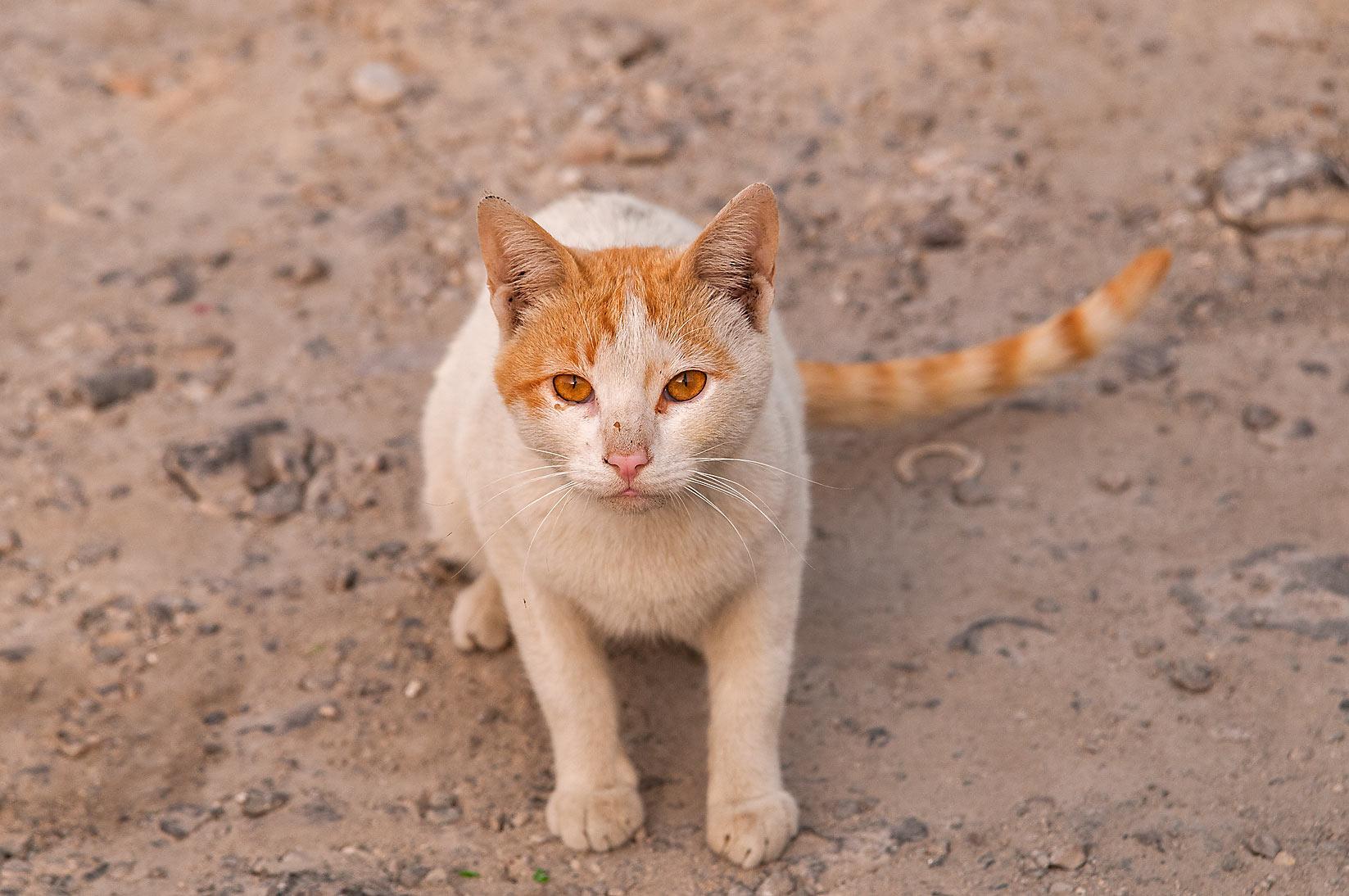 Stray arabian mau cat sitting on Umm Wishah Street, Musheirib area ...