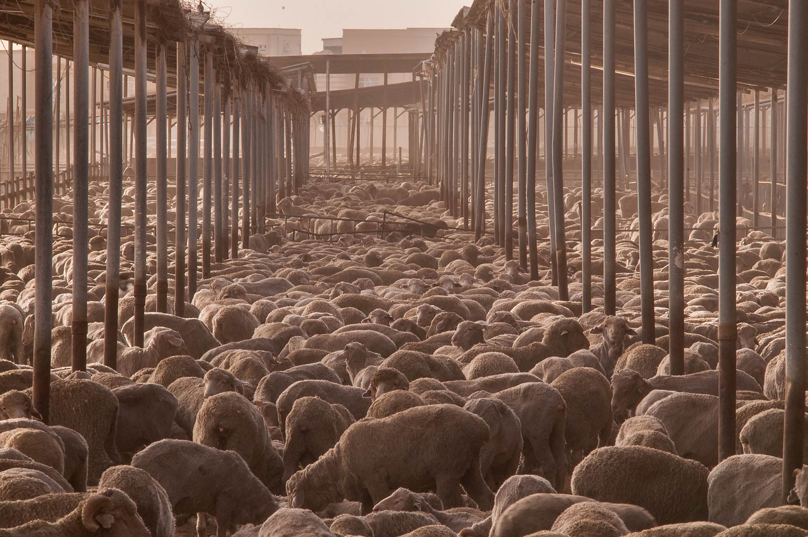 Australian sheep in a feedlot of Livestock Market...in Abu Hamour. Doha, Qatar