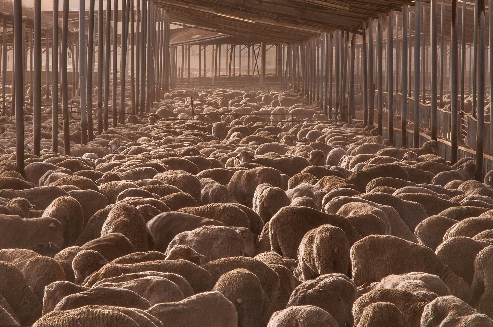Australian sheep crammed into a dusty feedlot of...in Abu Hamour. Doha, Qatar