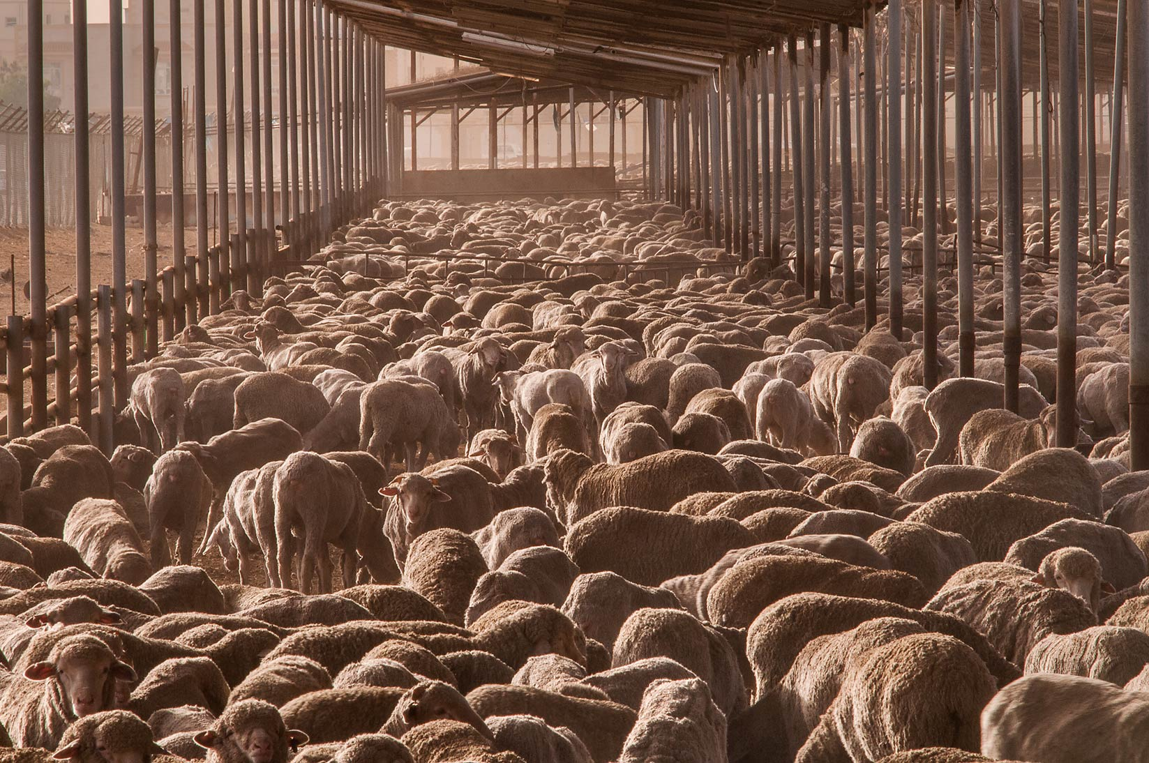 Australian sheep overcrowding in a feedlot of...in Abu Hamour at morning. Doha, Qatar