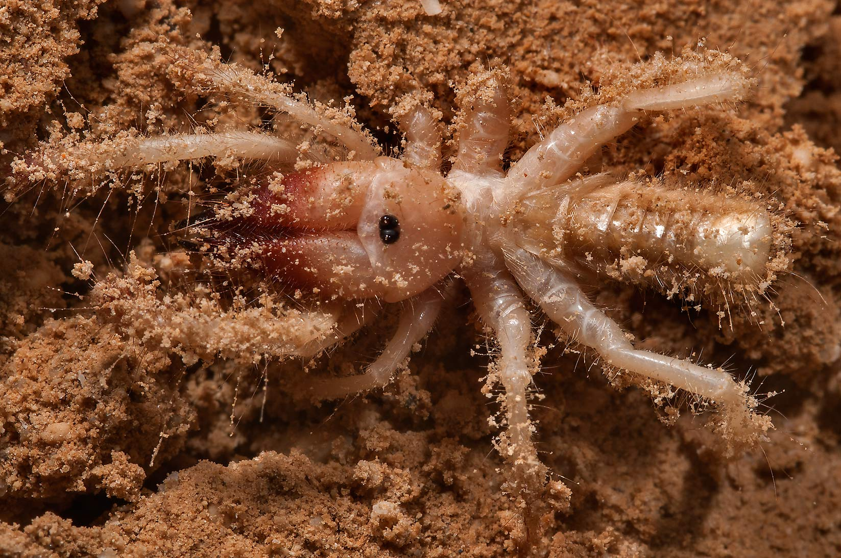 Camel spider in Al Aaliya Island near Doha at evening. Qatar