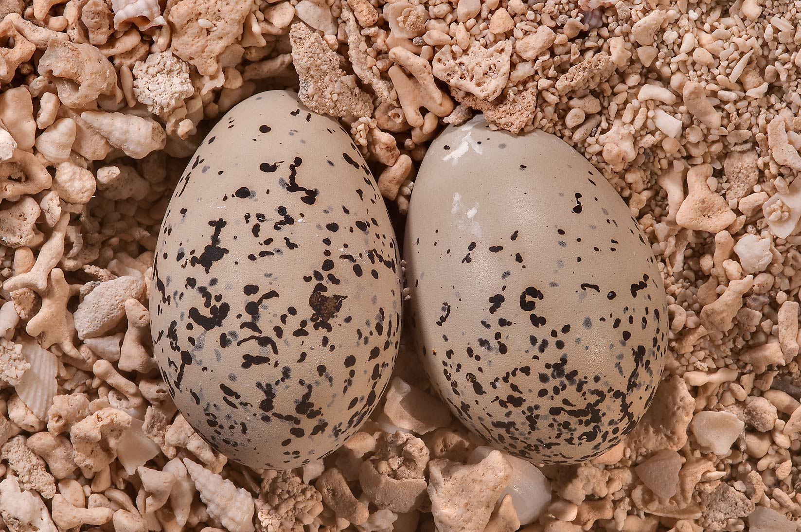 Eggs of sea birds Sterna (terns) in Jazirat Umm...tip of Qatar, east from Ruwais. Qatar