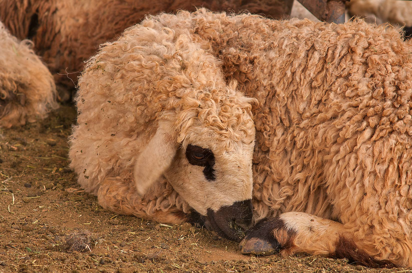 Point coloration of a sleeping sheep in livestock market, Abu Hamour area. Doha, Qatar