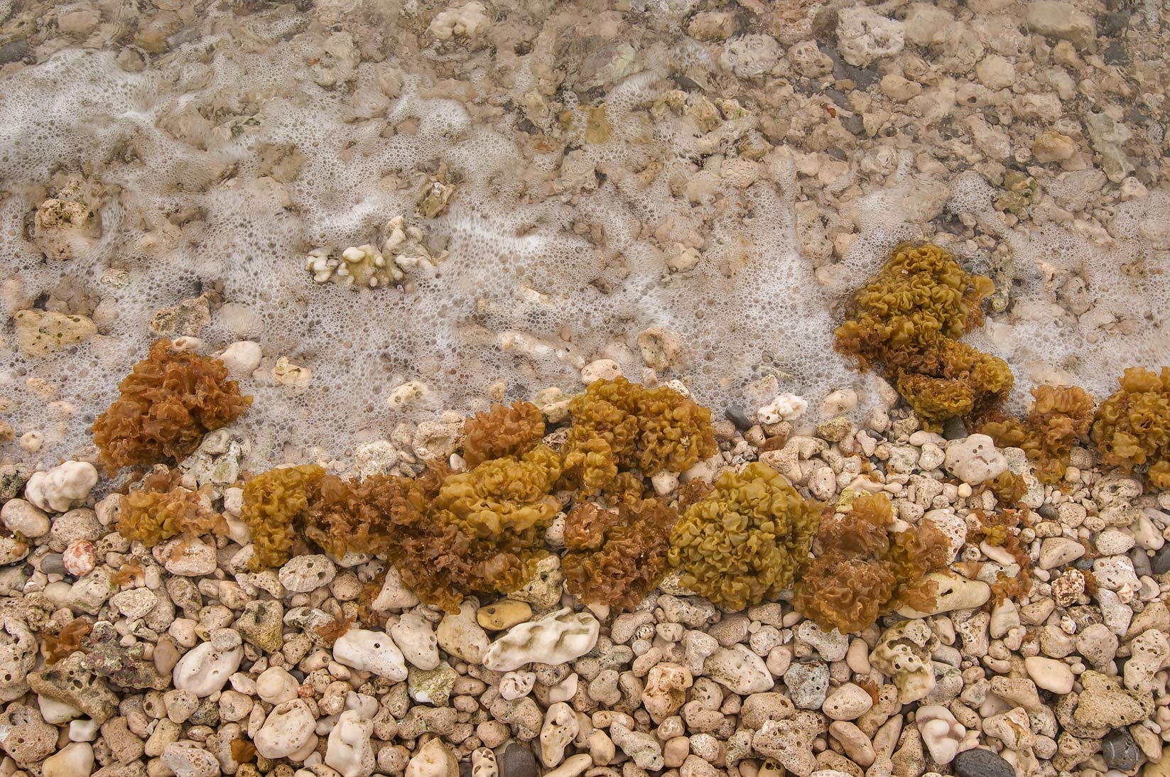 Dead corals and seaweed (algae) on western beach in Haloul Island (Jazirat Halul). Qatar