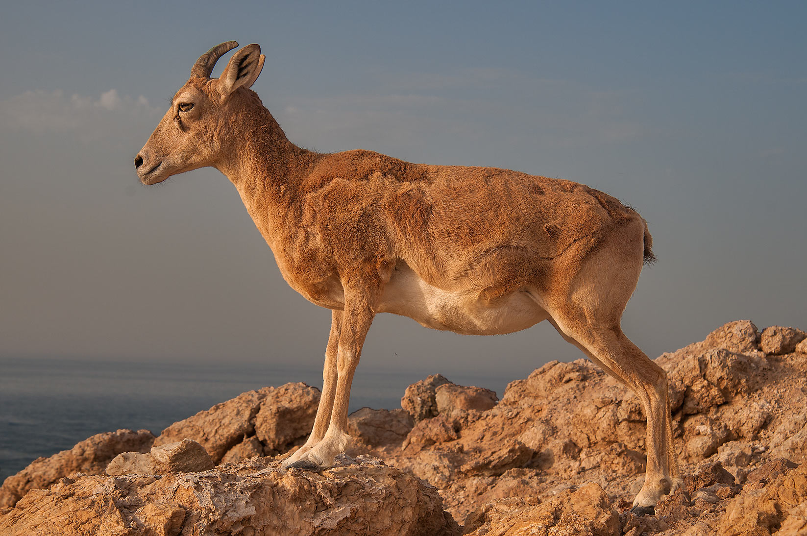 Mountain goat standing on rocks of northern tip of Haloul Island (Jazirat Halul). Qatar