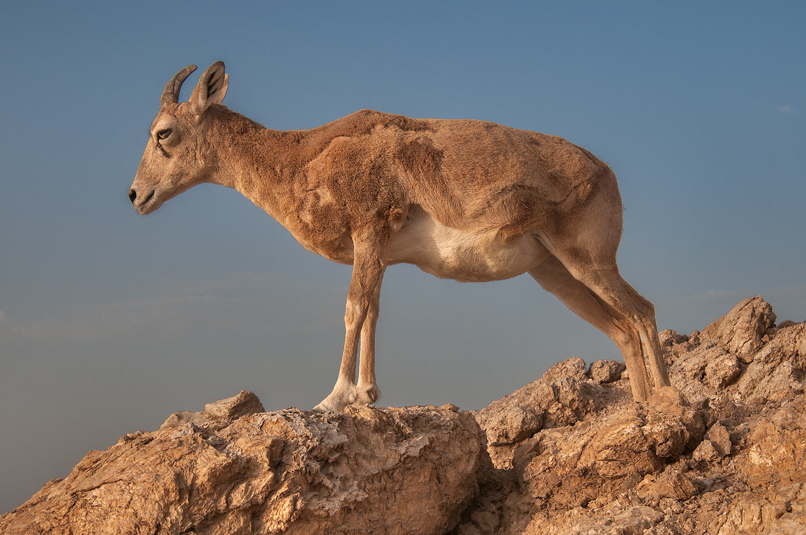 Mountain goat standing on gypsum rocks of...Haloul Island (Jazirat Halul). Qatar