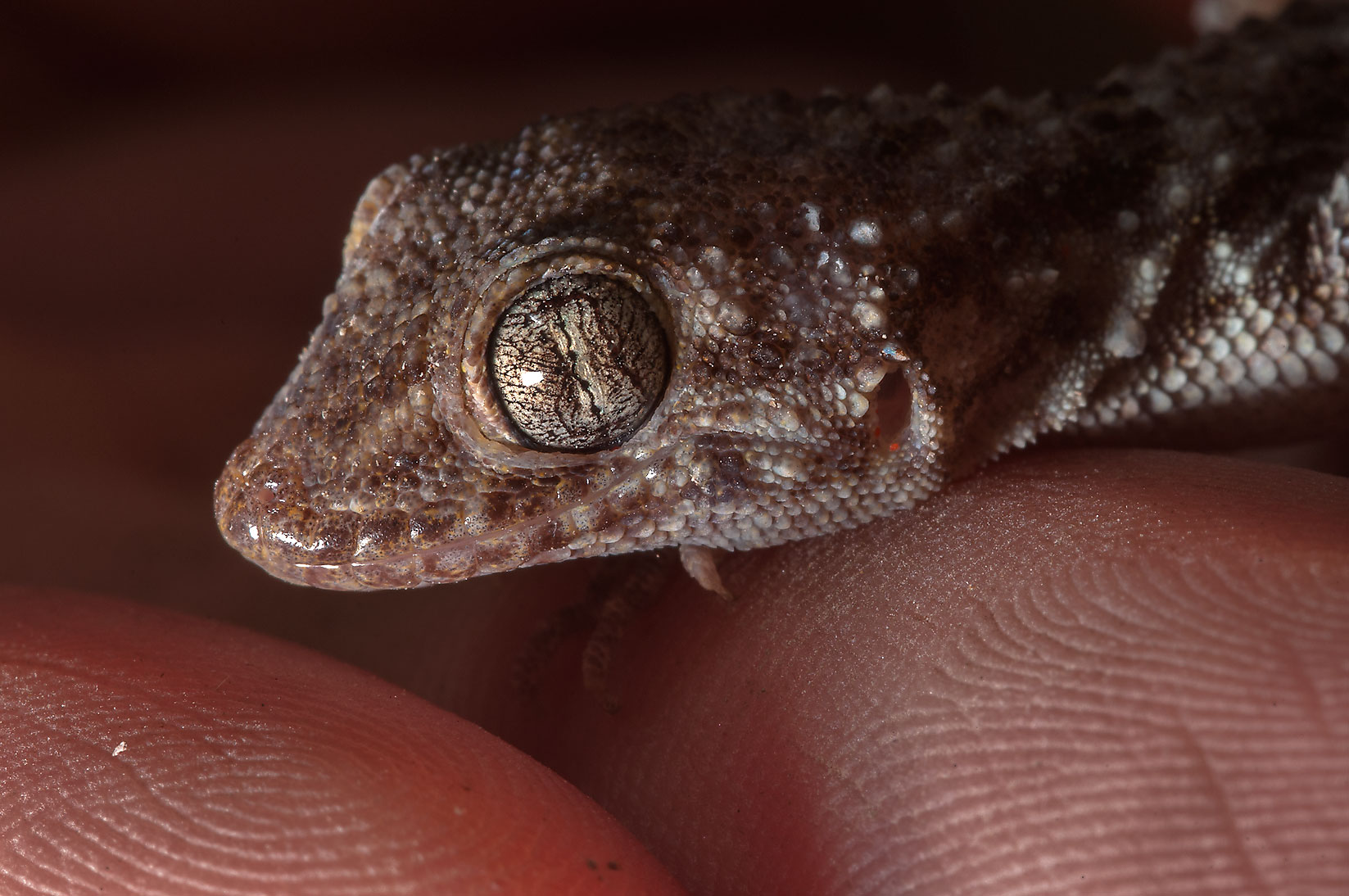 Head of rough-tailed bowfoot gecko lizard...Haloul Island (Jazirat Halul). Qatar