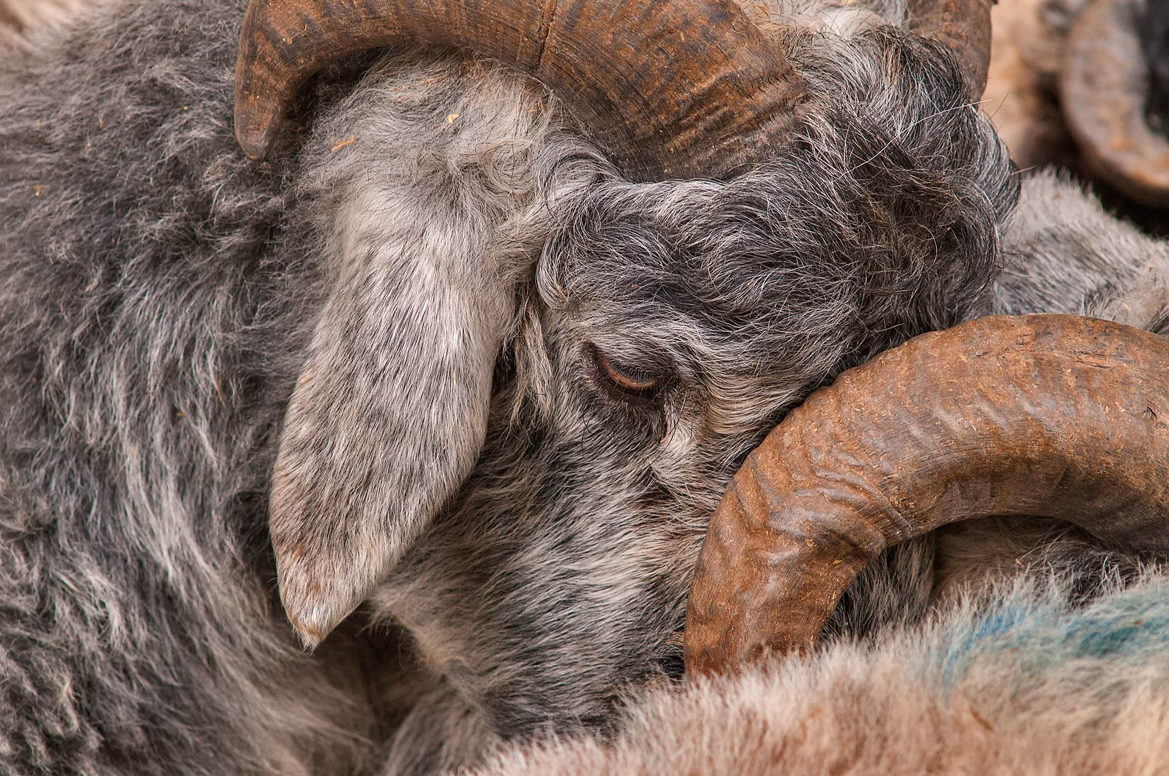 Grey sleeping sheep in livestock market, Abu Hamour area. Doha, Qatar