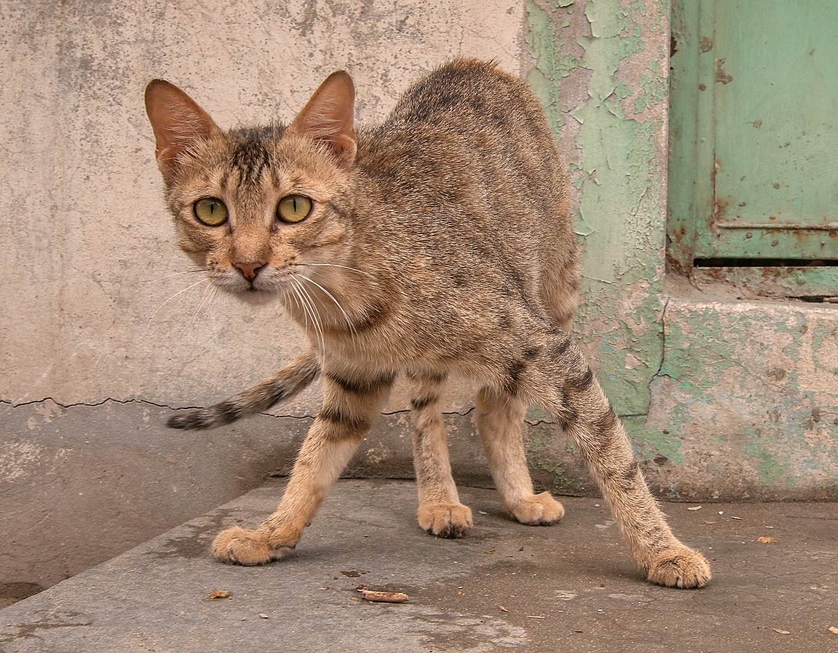 Cat standing in Old Al Ghanim area. Doha, Qatar
