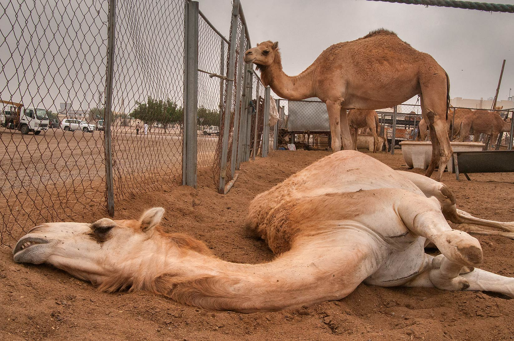 Camel sleeping in dust in a pen in livestock market, Abu Hamour area. Doha, Qatar