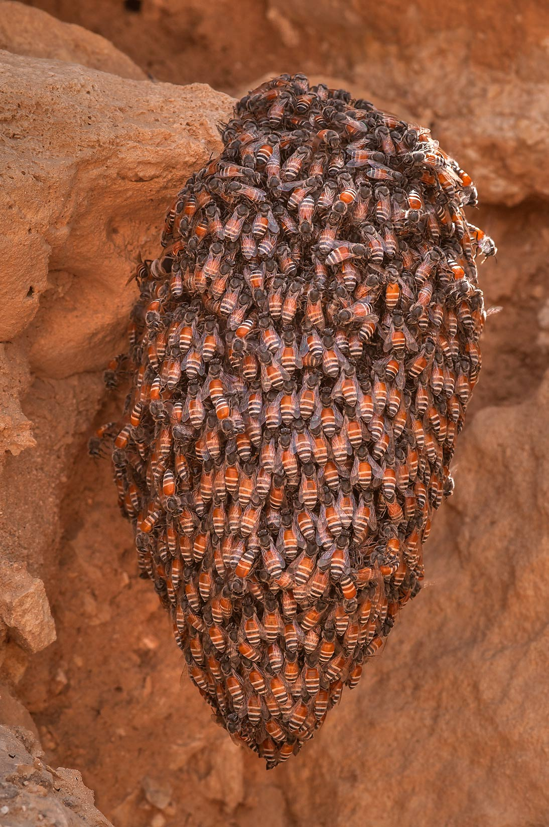 Swarming honey bees at excavations at al-Ruwaydah near Ruwais in northern Qatar