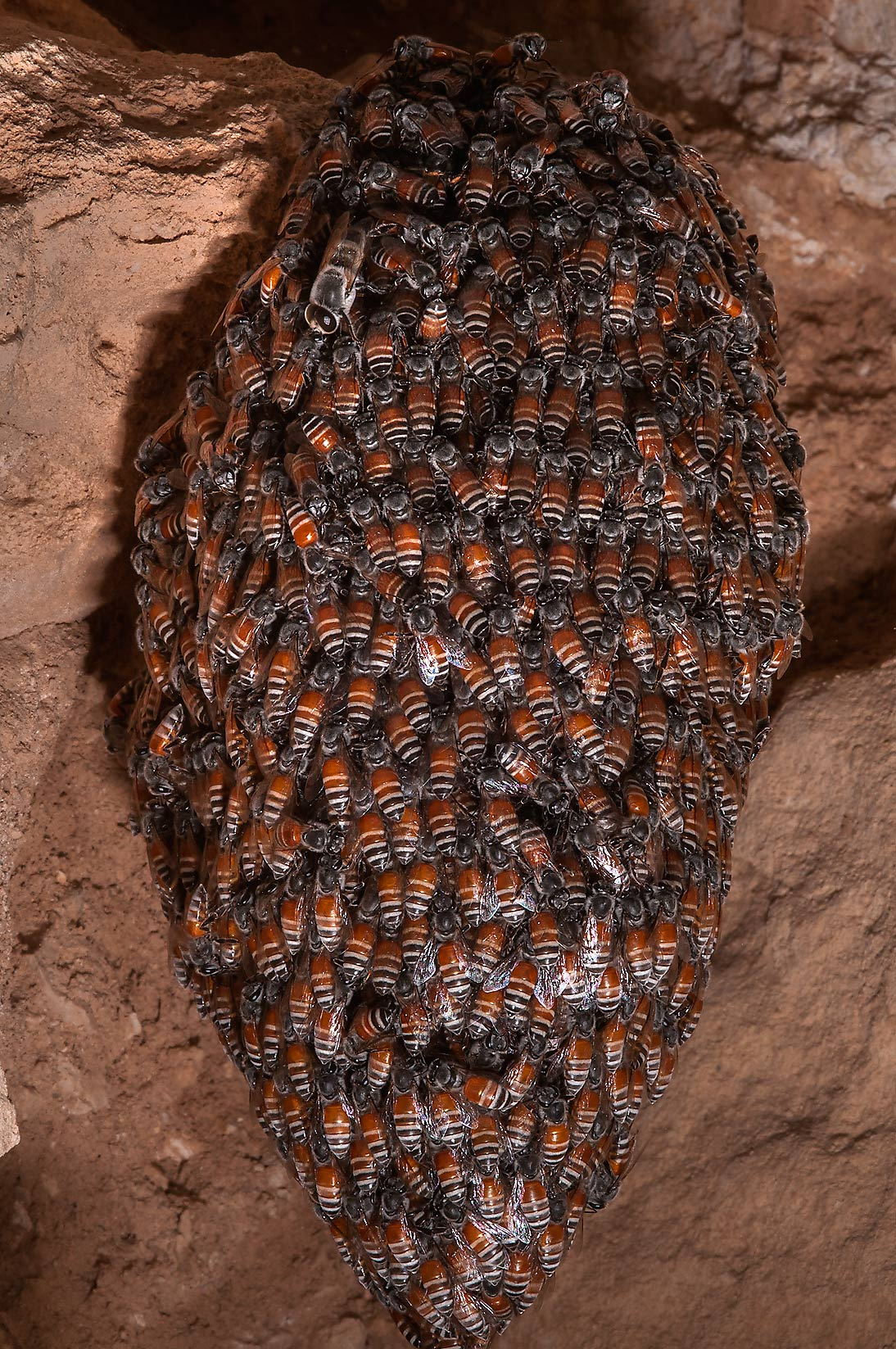 Nest of swarming honey bees at excavations at al-Ruwaydah near Ruwais in northern Qatar