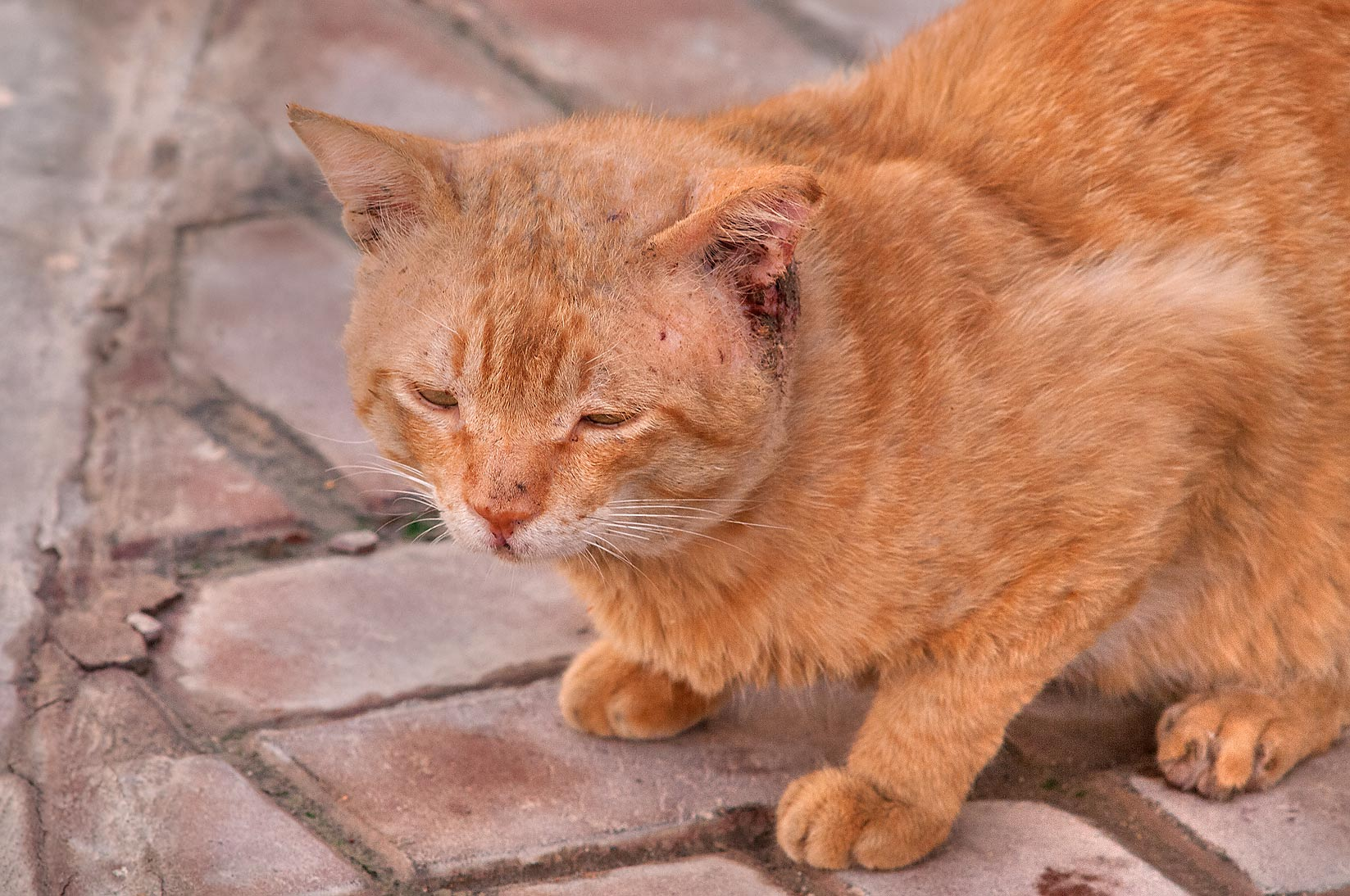 Brown cat with infected ear in Dar Al Salam Compound, Abu Hamour area. Doha, Qatar
