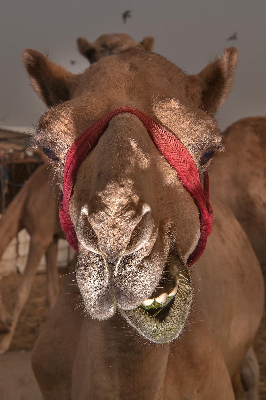 Chewing camel in livestock markets in Abu Hamour. Doha, Qatar