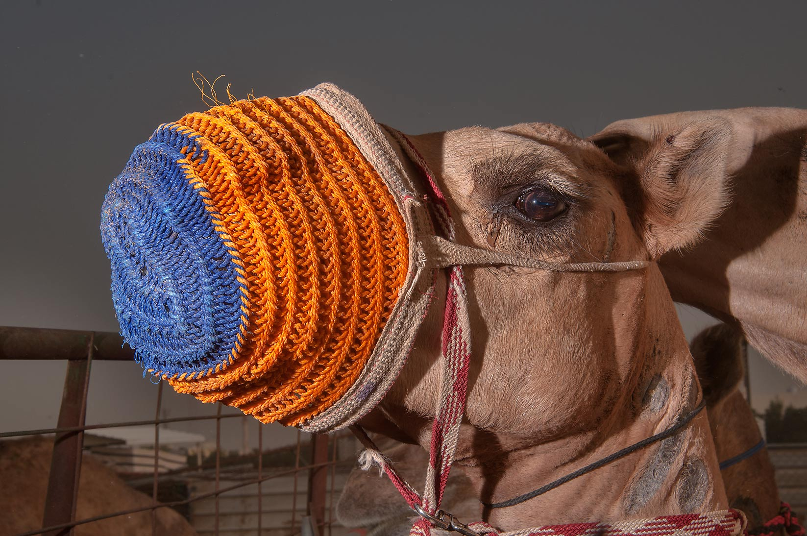 Camel sporting orange and blue muzzle in livestock markets in Abu Hamour. Doha, Qatar