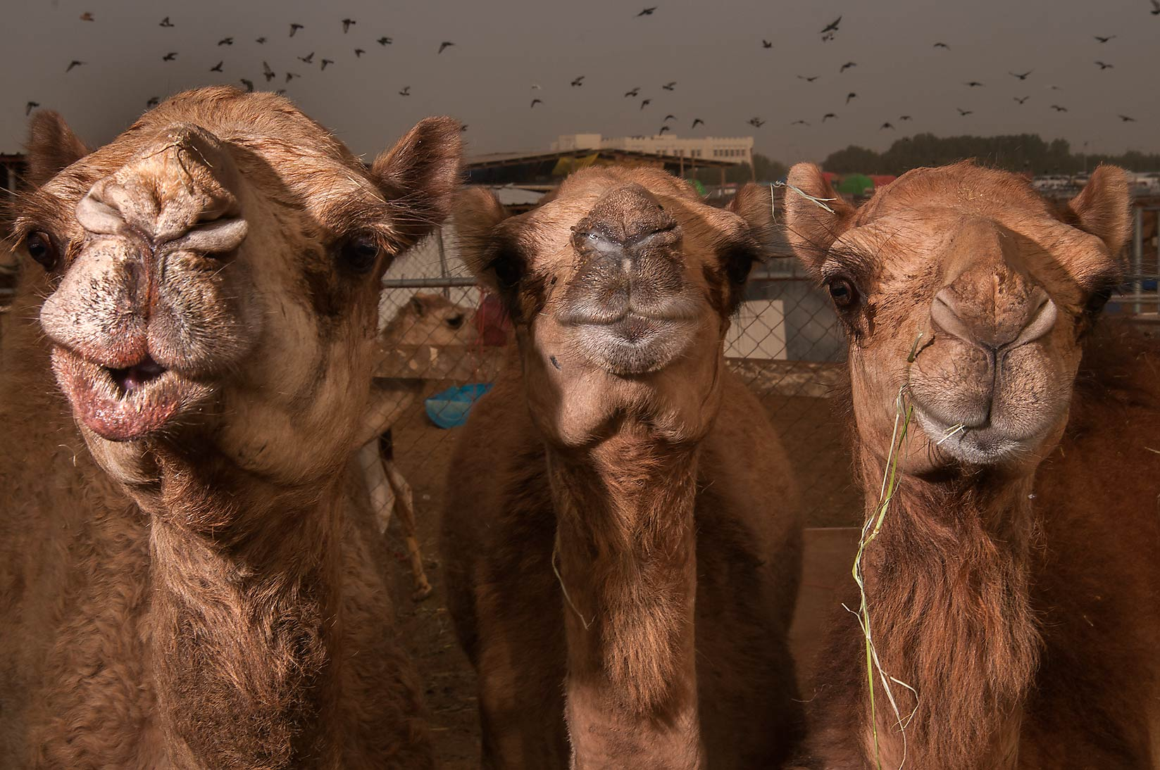 Three camels in livestock markets in Abu Hamour. Doha, Qatar