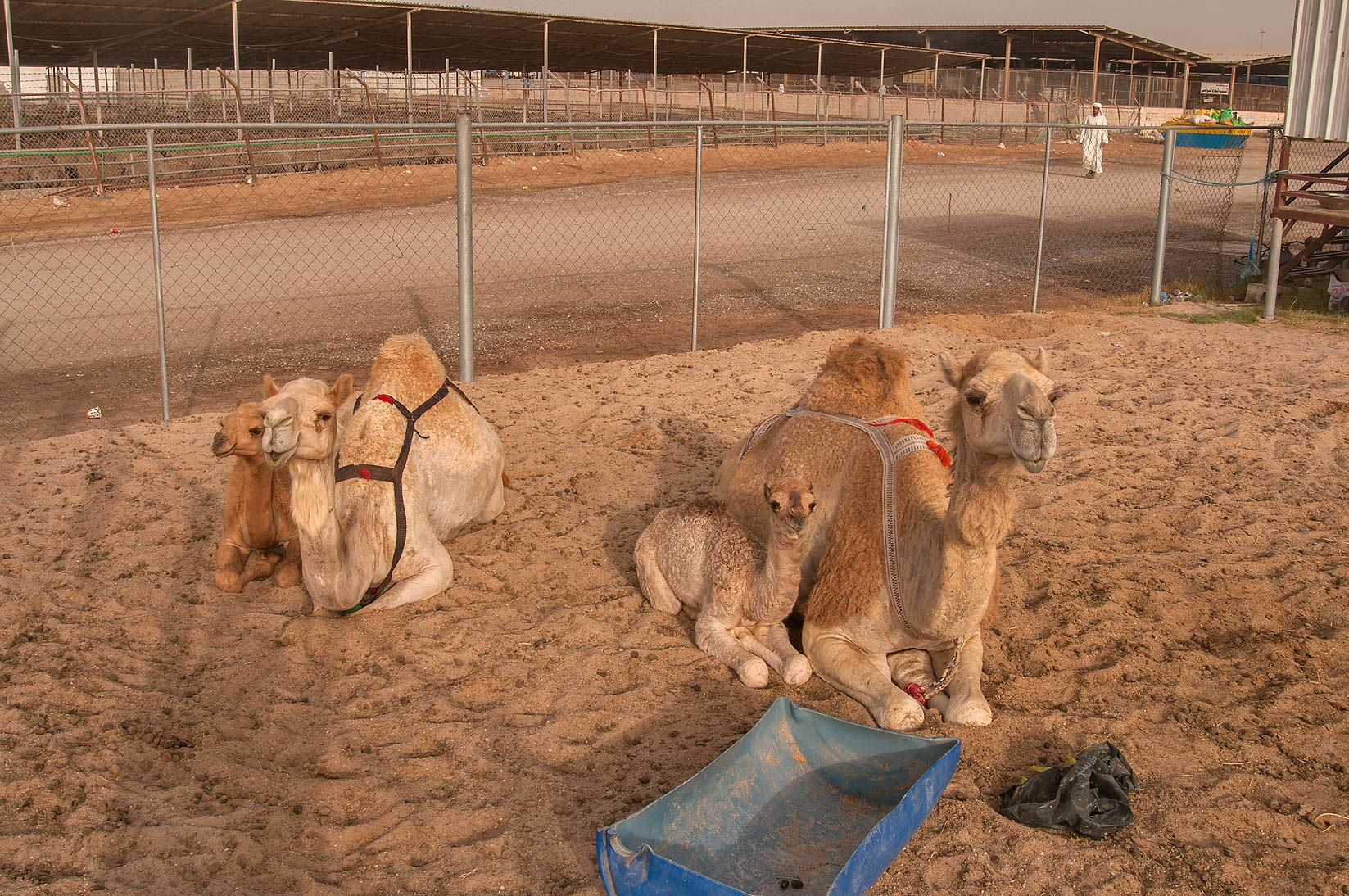 Two families of camels in livestock markets in Abu Hamour. Doha, Qatar