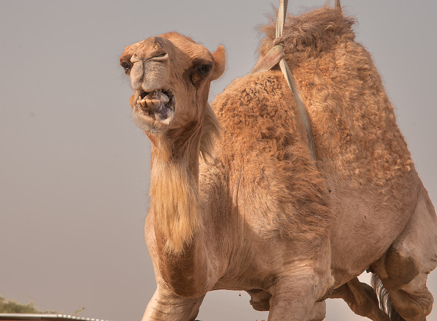 Camel that was sold for meat and suspended in air...markets in Abu Hamour. Doha, Qatar