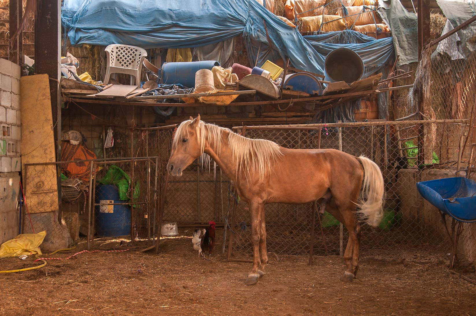 Standing brown horse in livestock markets in Abu Hamour. Doha, Qatar