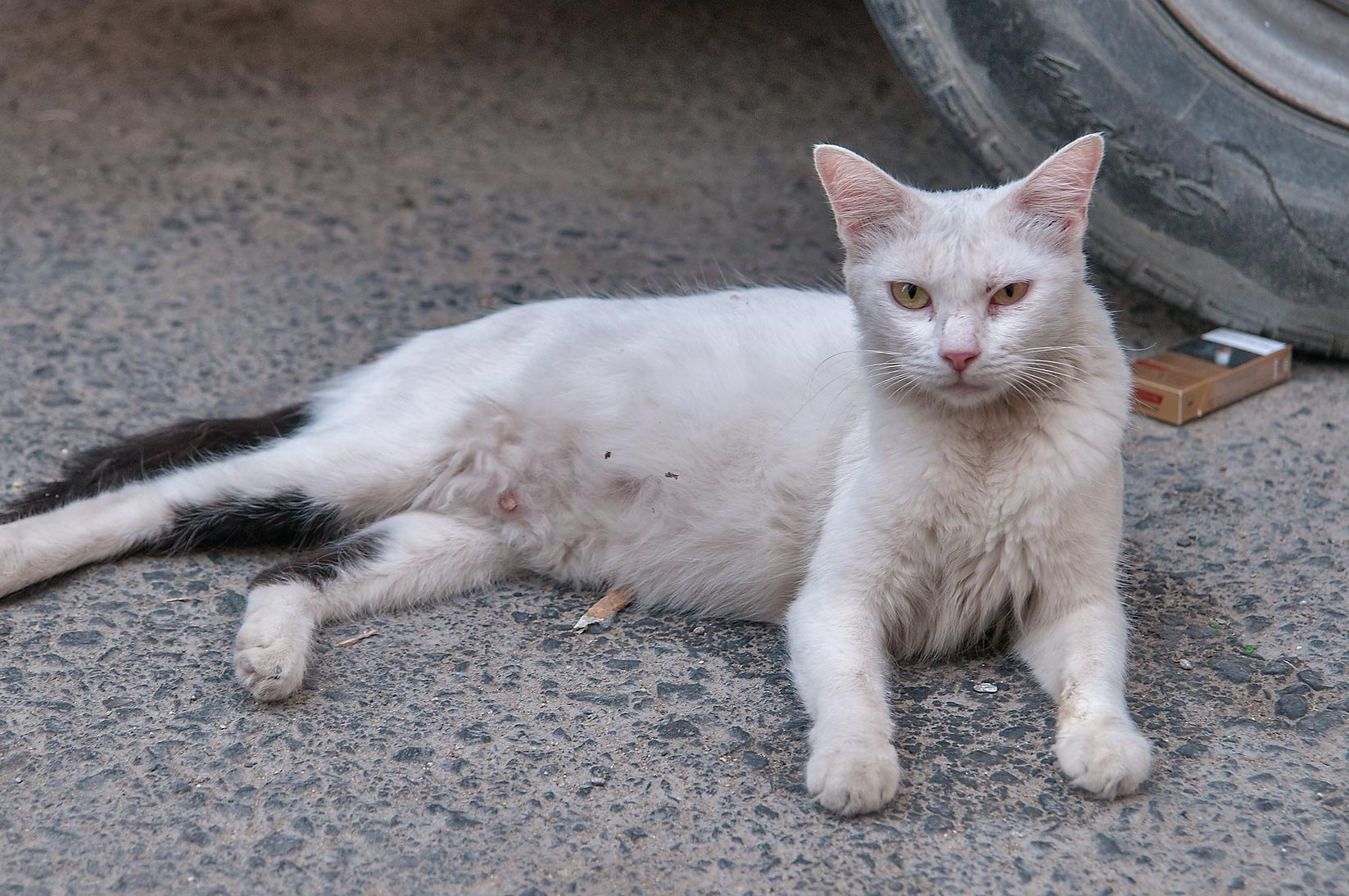 White cat resting near a car at Umm Wishah St., Musheirib area. Doha, Qatar