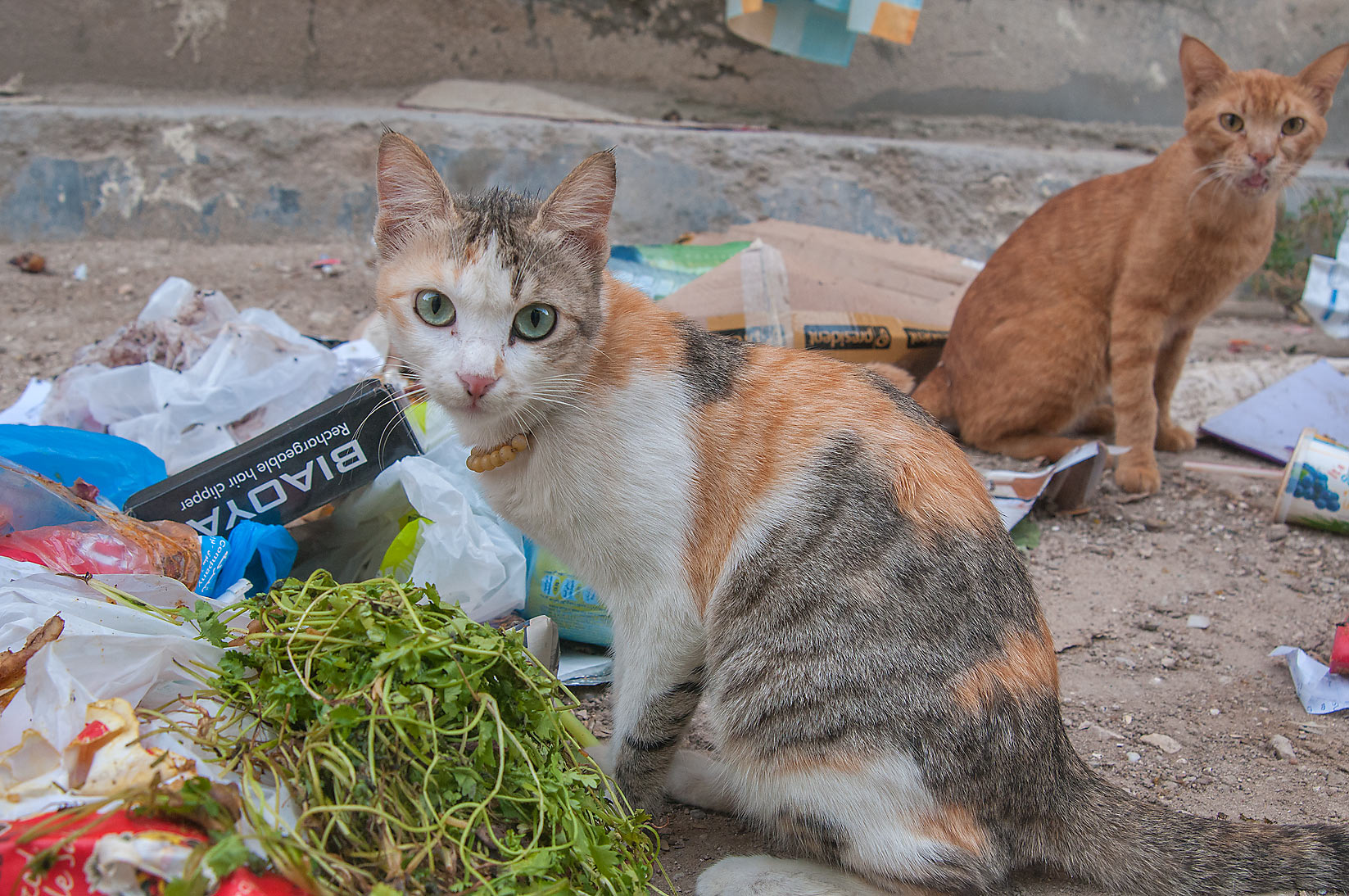Cat with a bead necklace eating vegetable salad for breakfast, Musheirib area. Doha, Qatar