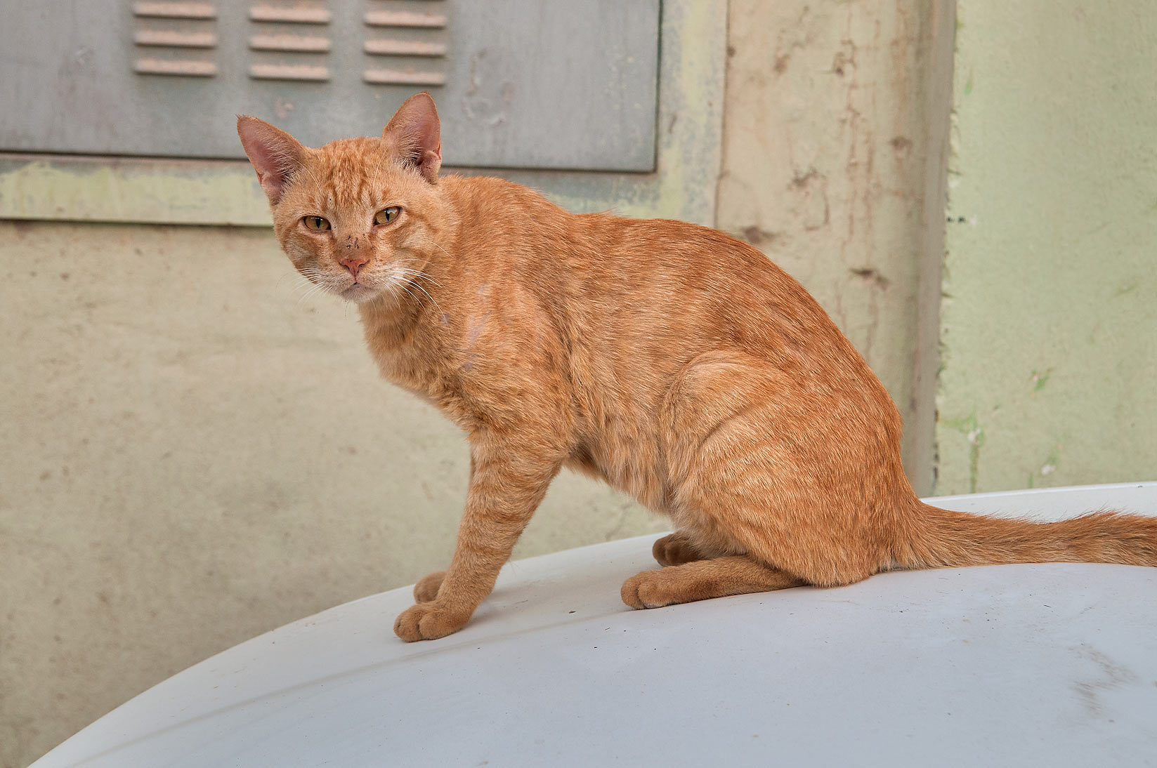 Brown arabian mau cat with scratched nose sitting...St., Musheirib area. Doha, Qatar