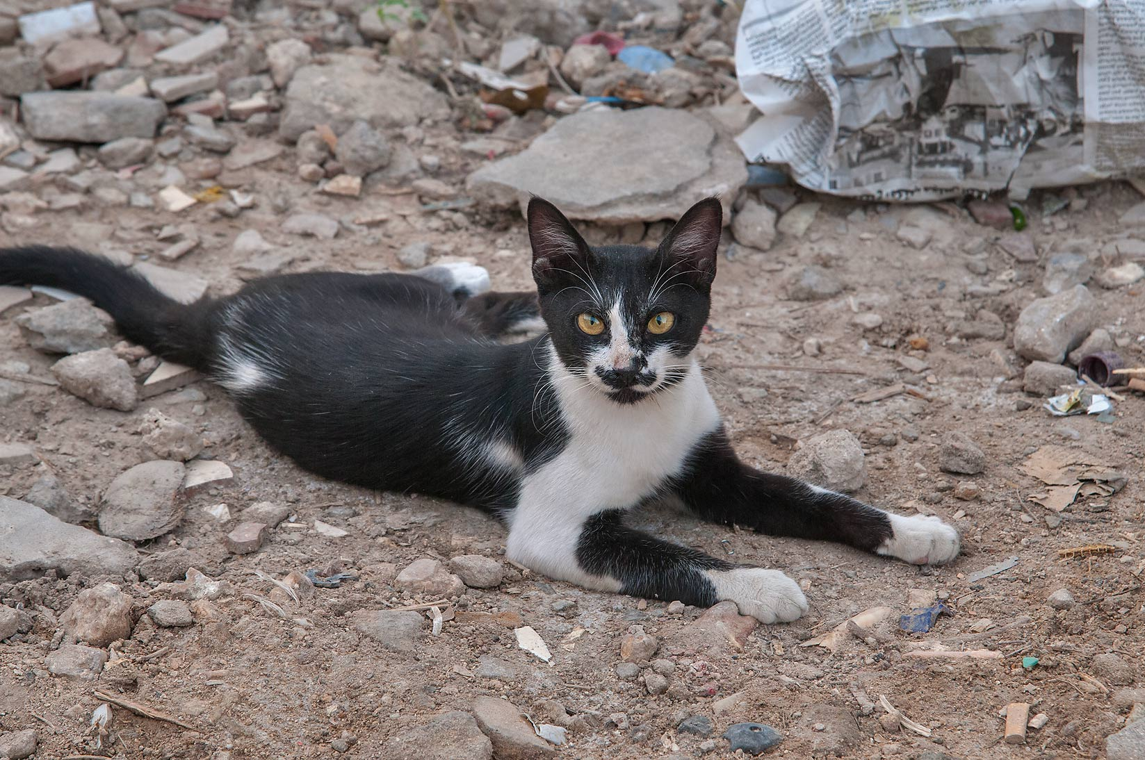 Stray bicolor cat resting in Musheirib area. Doha, Qatar