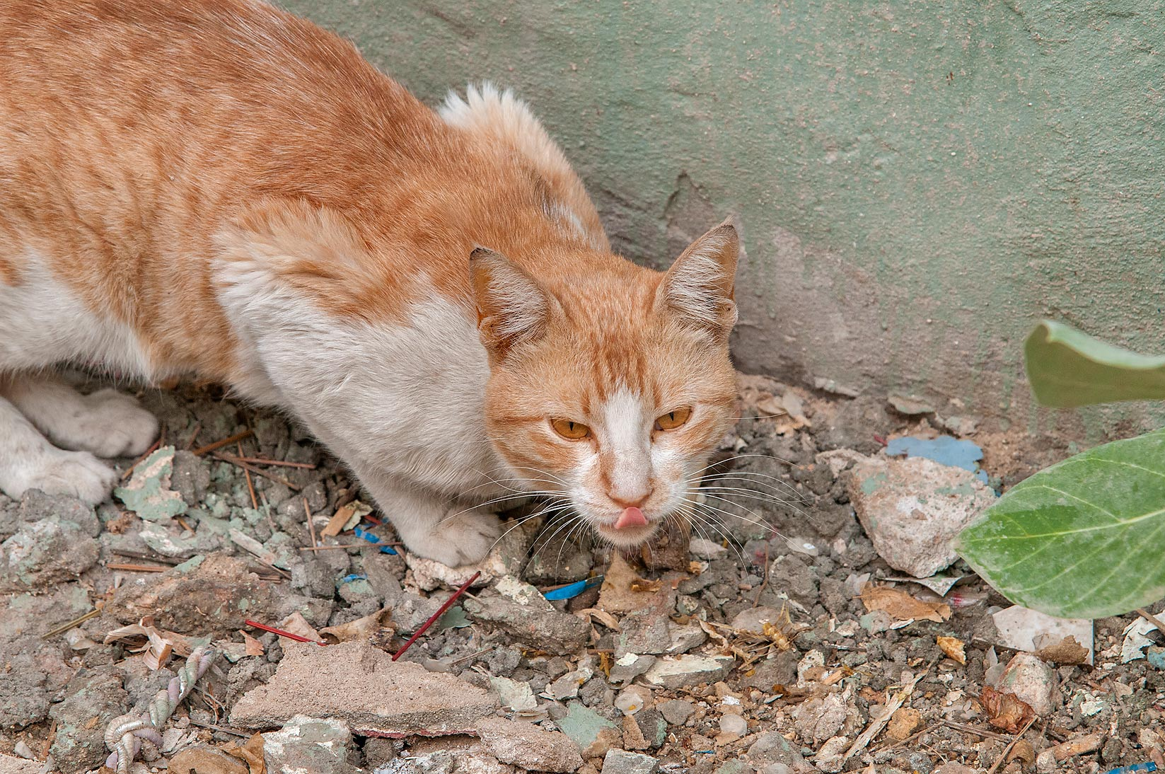 Sneaking arabian mau cat in Musheirib area. Doha, Qatar