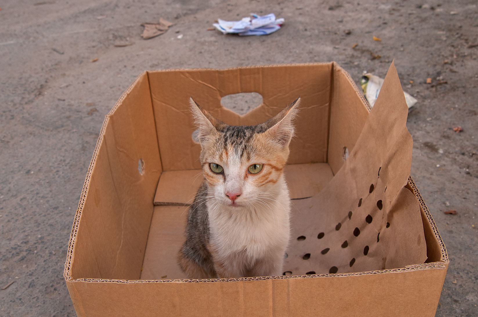 Arabian mau cat sitting in a cardboard box, Musheirib area. Doha, Qatar