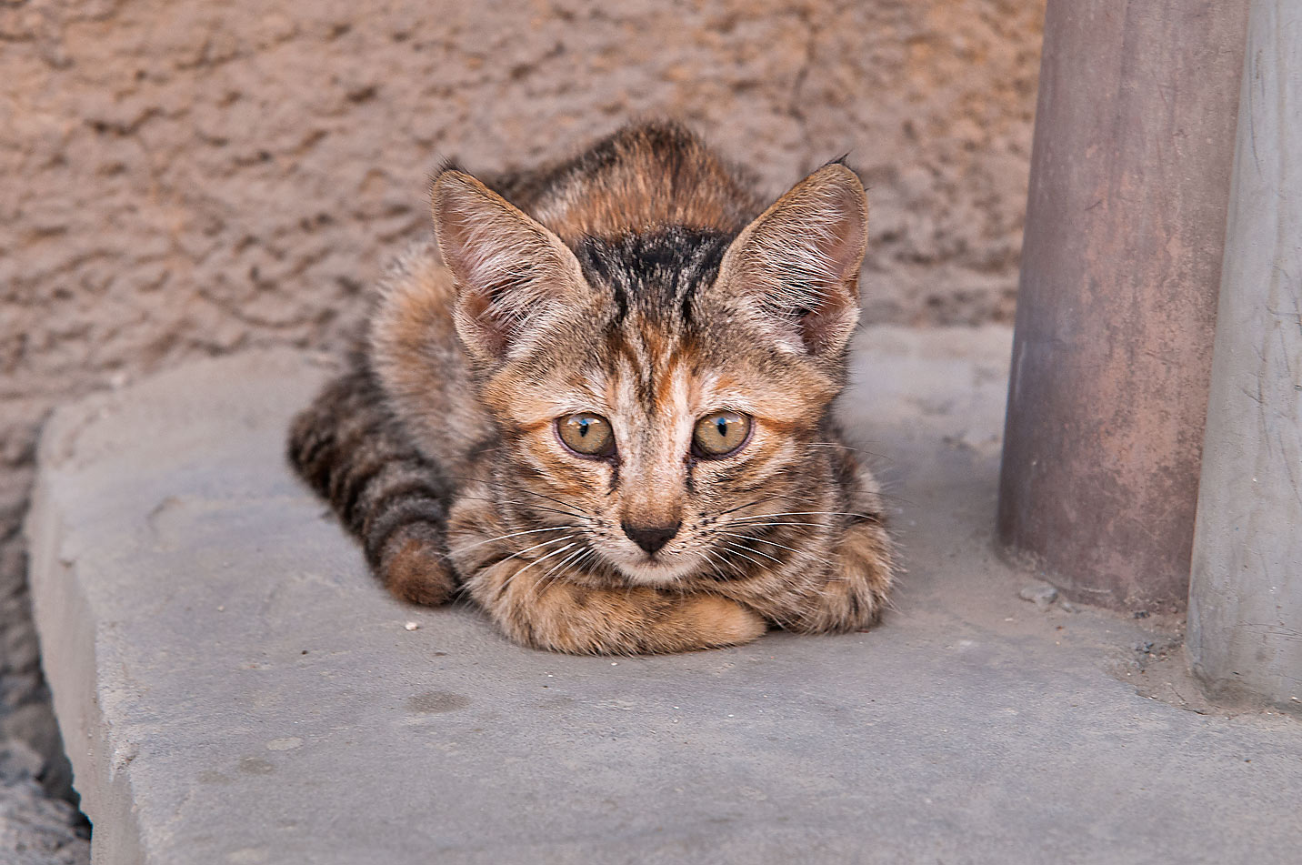 Awakened tabby kitten, Musheirib area. Doha, Qatar