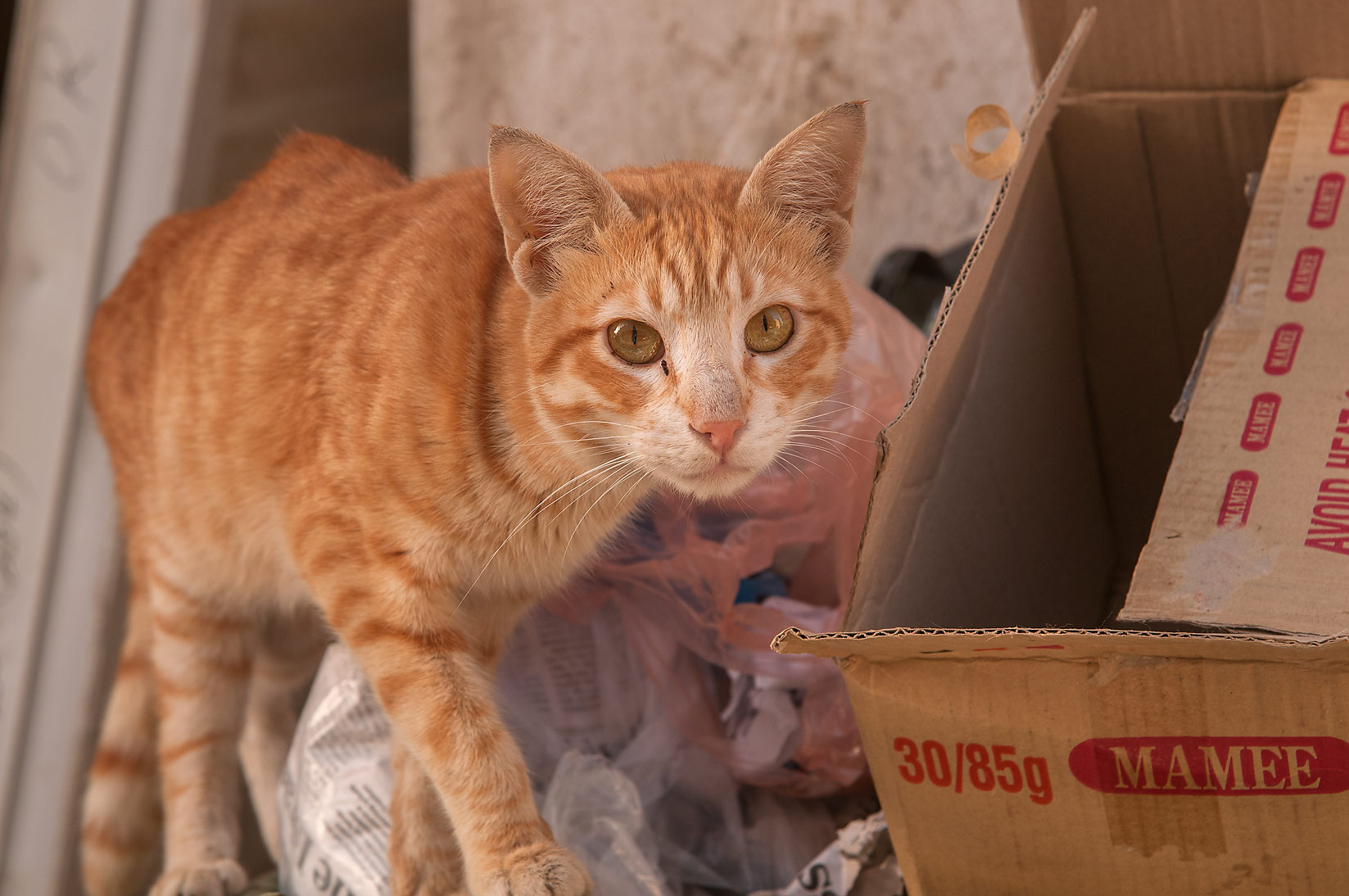 Brown cat among trash, Musheirib area. Doha, Qatar
