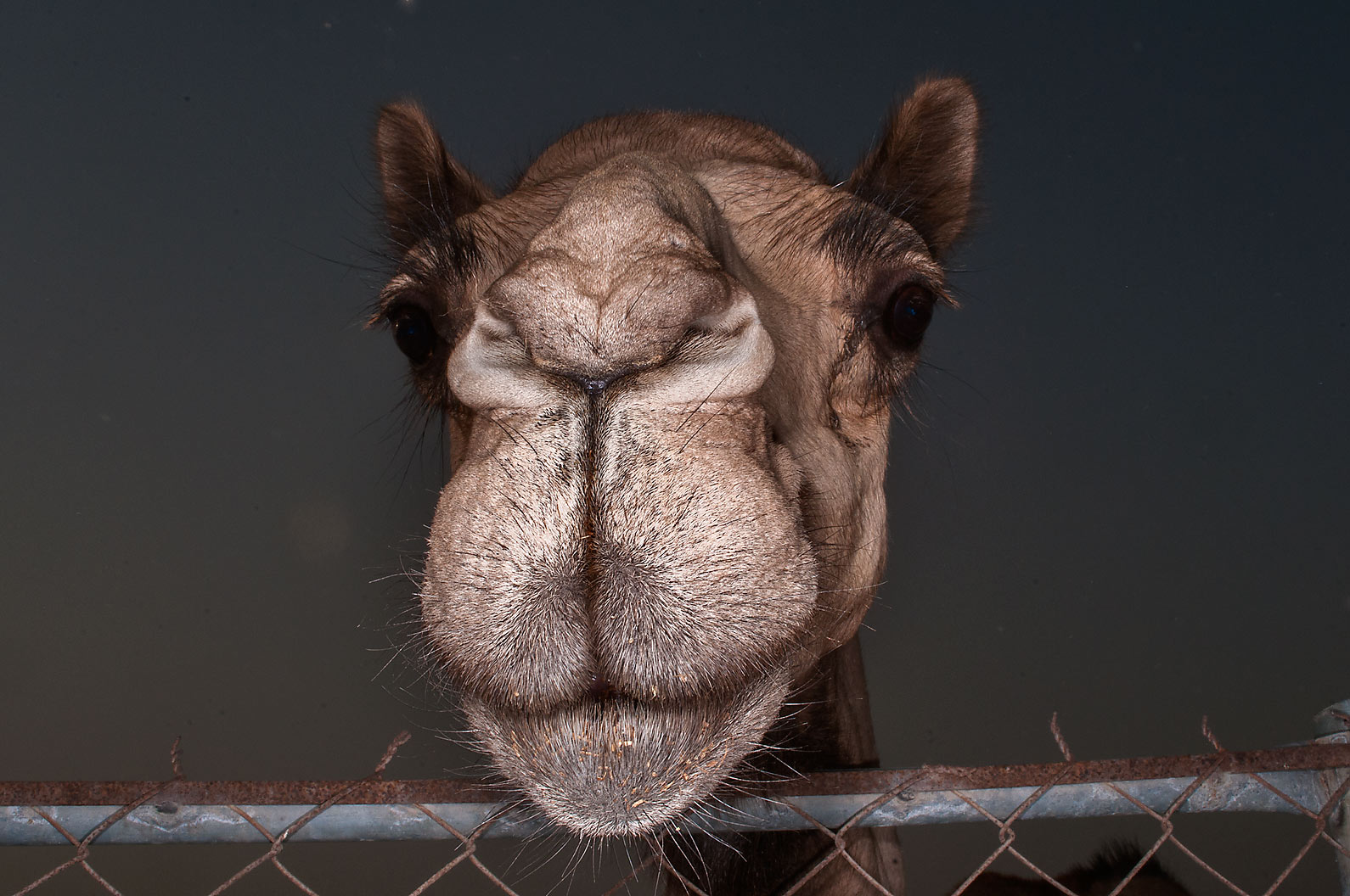 Camel looking from a fence in Livestock Market, Wholesale Markets area. Doha, Qatar