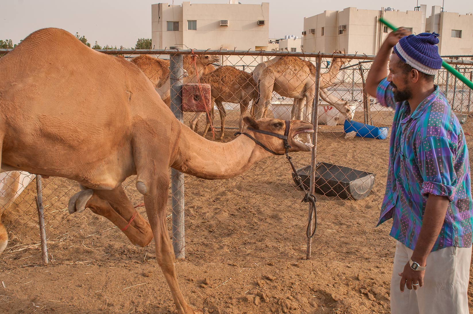 Taming stubborn camel by stick in Livestock Market, Wholesale Markets area. Doha, Qatar
