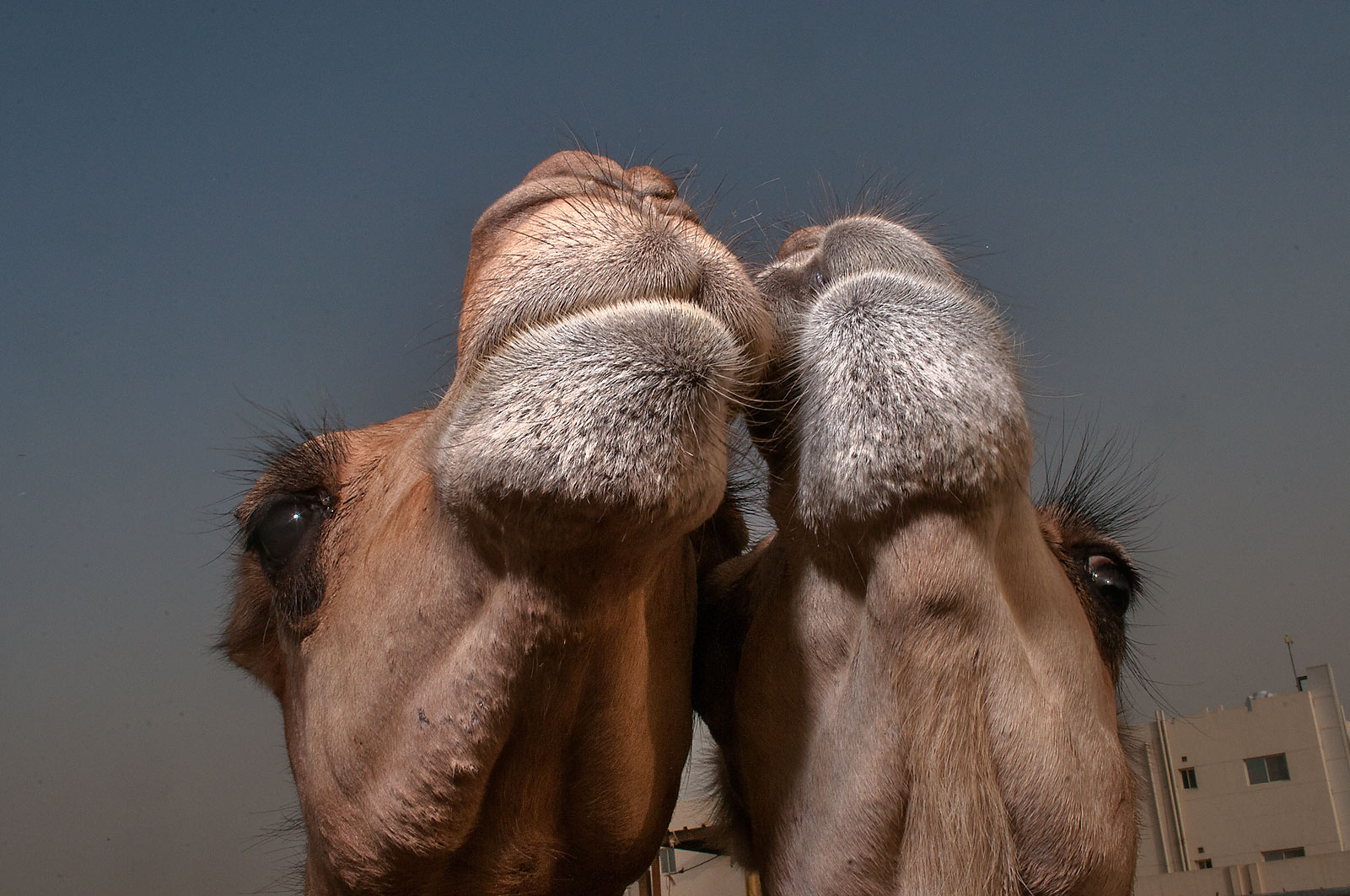 Pair of camels in Livestock Market, Wholesale Markets area. Doha, Qatar