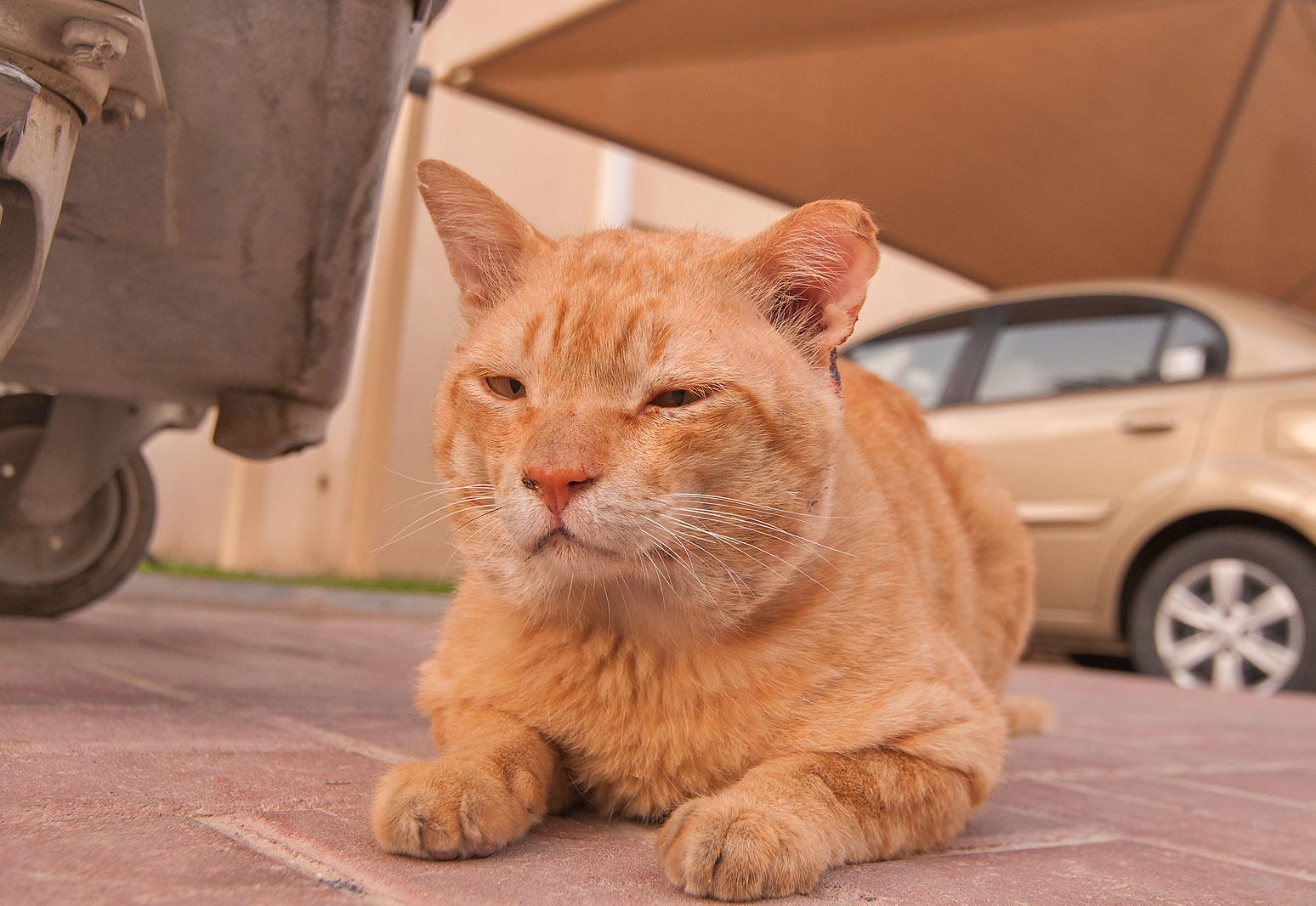 Thinking brown cat sitting in Dar Al Salam...Hamour area at morning. Doha, Qatar