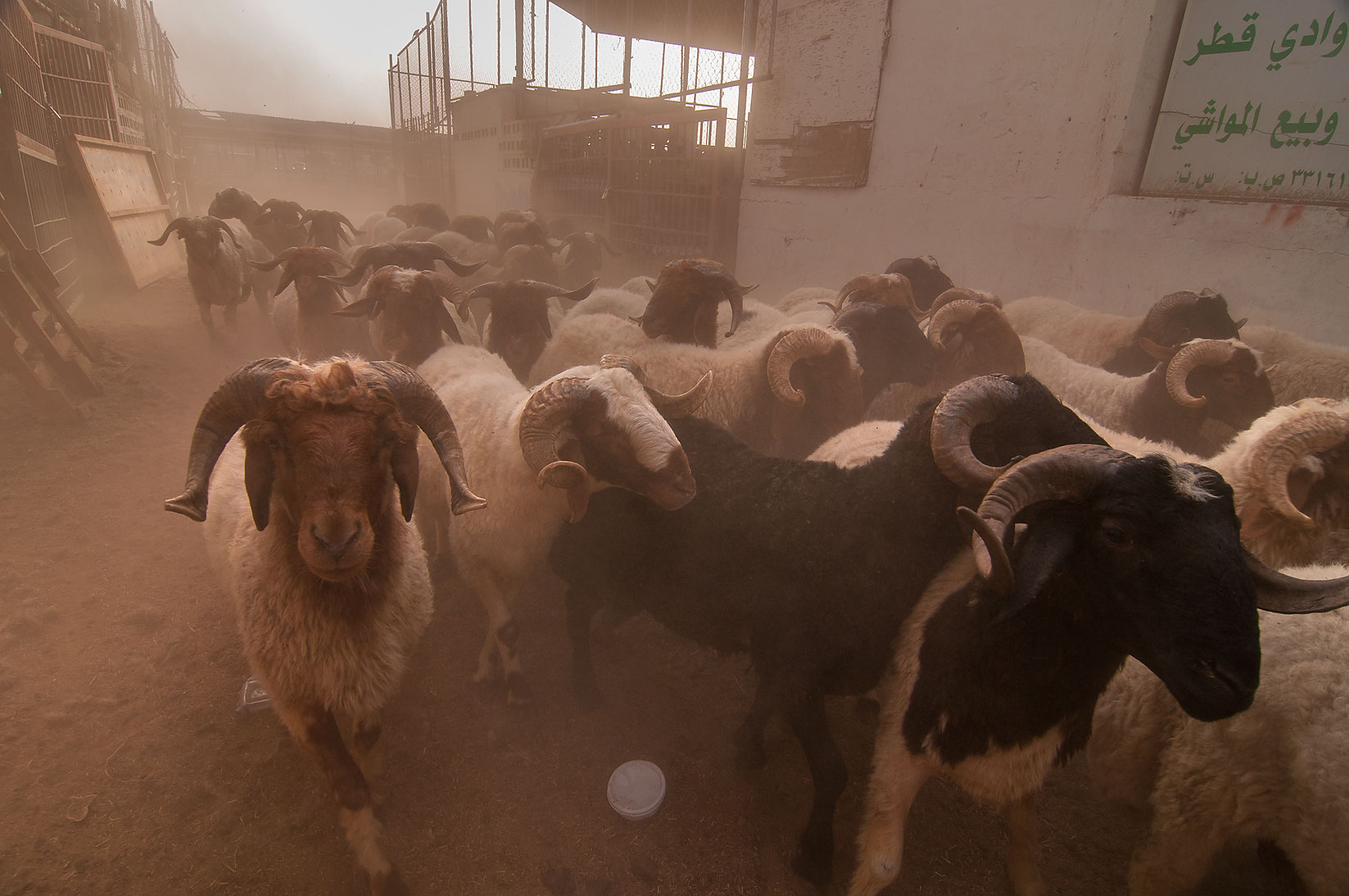 Sheep driven dust storm in Livestock Market, Wholesale Markets area. Doha, Qatar