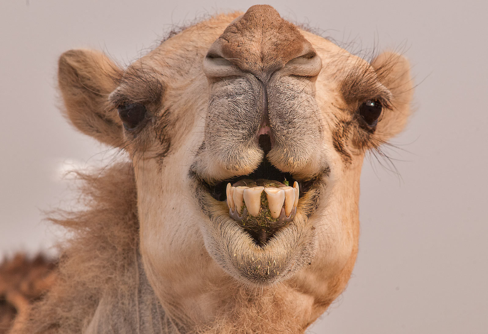 Camel showing its teeth in Livestock Market, Wholesale Markets area. Doha, Qatar