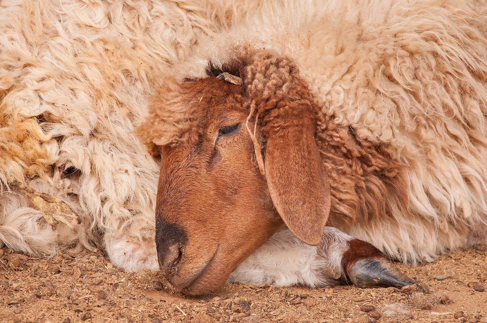 Sheep from Jordan sleeping in Livestock Market, Wholesale Markets area. Doha, Qatar