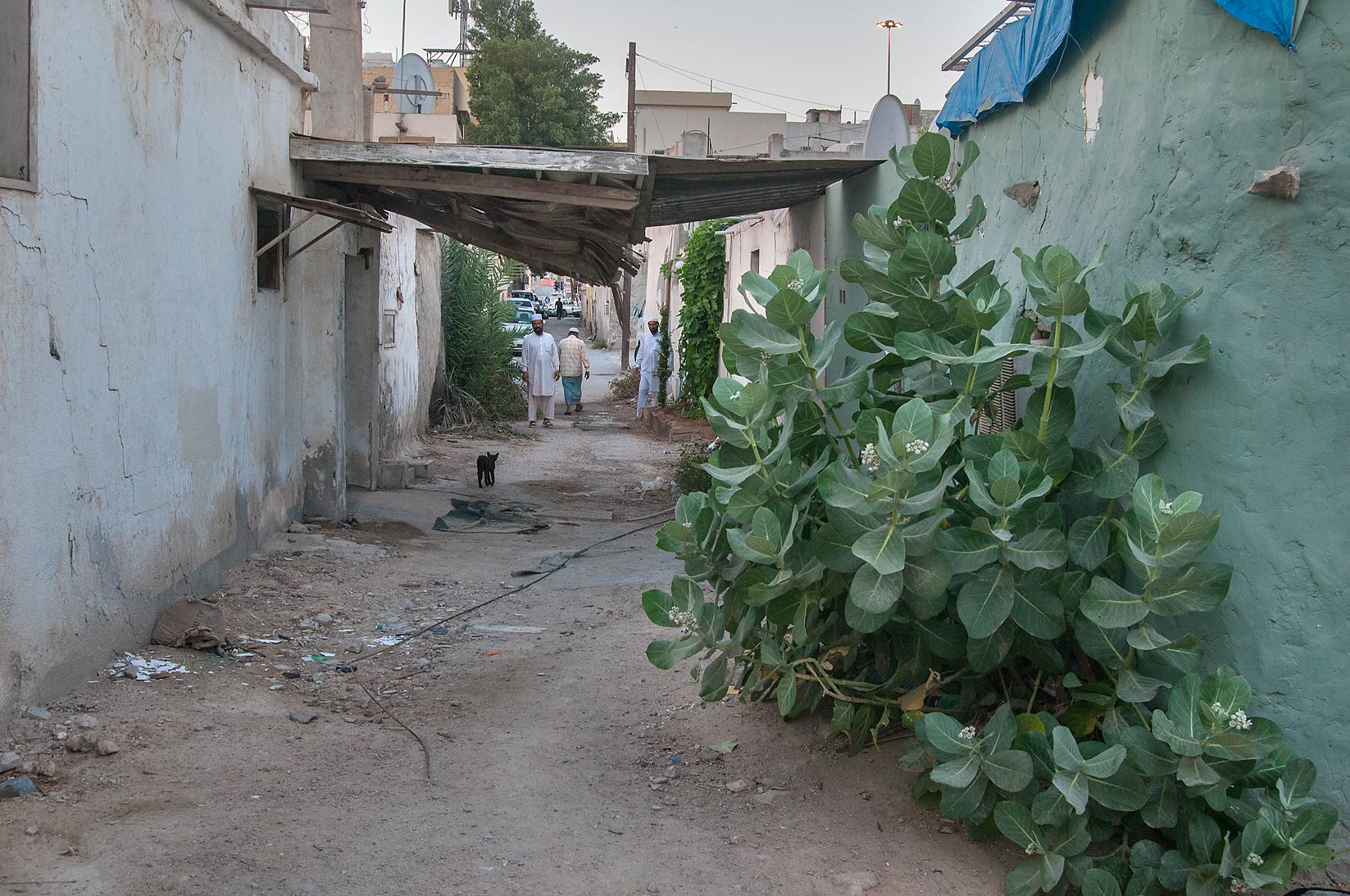Alleyway near Umm Wishah St. with Sodom Apple...procera), Musheirib area. Doha, Qatar