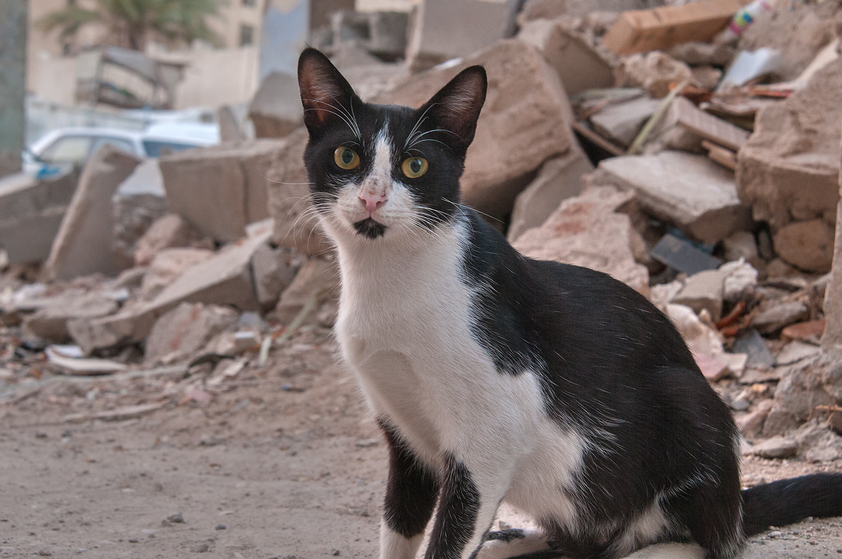 Tuxedo cat near rubble near Umm Wishah St., Musheirib area. Doha, Qatar