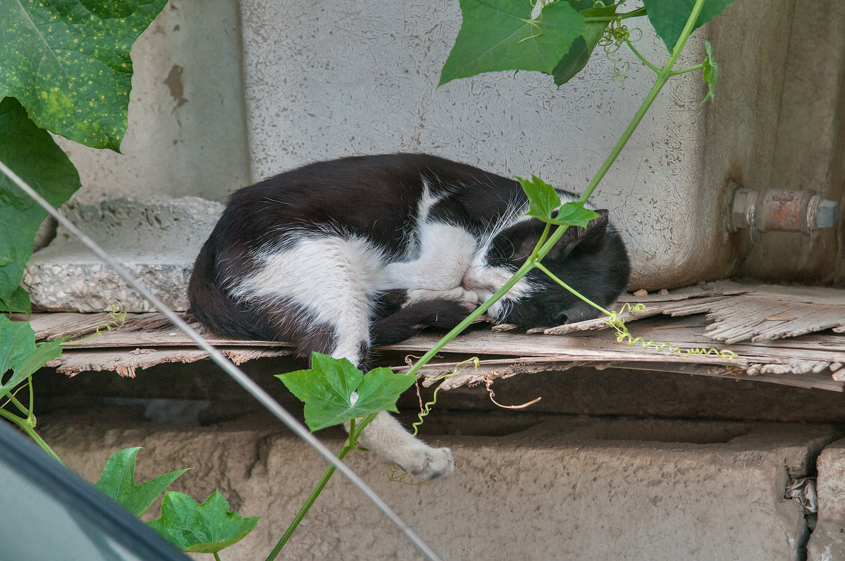 Sleeping bicolor Tuxedo cat near Umm Wishah St., Musheirib area. Doha, Qatar